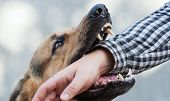 One German Shepherd Bites A Man By The Hand. Training And Breeding Thoroughbred Dogs. poster