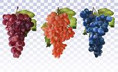 Wine Grapes. Collection Three Grapes Red, Dark Blue With Green Leaf. Healthy Fruits. Table Grapes. I poster