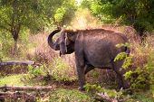 An Adult Sri Lankan Elephant (elaphas Maximus Maximus) Showering Itself In Dust Early In The Morning poster