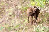 A Baby Sri Lankan Elephant (elephas Maximus Maximus) In The Dense Shrubs Of Udawalawe National Park  poster