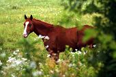 picture of wild horses  - Horse framed by wildflowers and trees in eastern Kansas - JPG