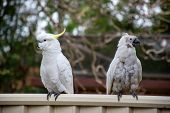 Sulphur-crested Cockatoo Seating On A Fence Close To Another Cockatoo Suffering From Psittacine Beak poster