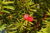 Macro Of Red Ripened Berry Fruits Of European Yew, Taxus Baccata Or European Yew Shoots With Mature  poster