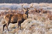 A Young Male Red Deer Glances Across A Cold And Frosty Meadow With Grass On His Nose From Recent Gra poster