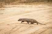 Ruddy Mongoose (herpestes Smithii)  On The Road In Yala National Park, Sri Lanka, Asia. Beautiful Wi poster