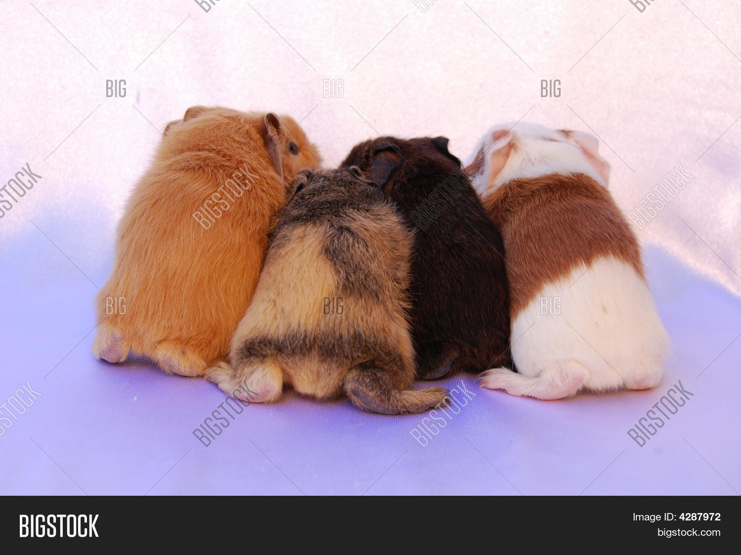 Cute baby guinea pig butts image photo bigstock