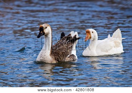 White and Brown Chinese Goose (Anser cygnoides)White and Brown Chinese Goose (Anser cygnoides)