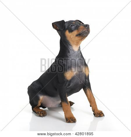 Miniature Pinscher puppy isolated on white
