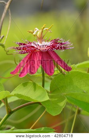 Passiflora Flower,lady Magaret Flower