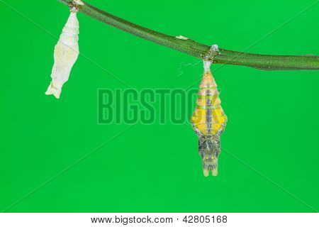 Pupa Of Great Mormon (papilio Memnon Agenor) Butterfly