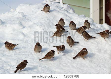 Flock Of Birds On Snow