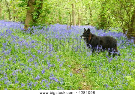 Black Collie Amongst Bluebells