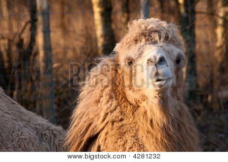 Close-up Portrait Of Camel