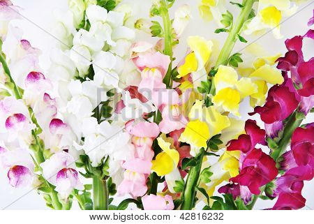 Variegated Antirrhinum (snapdragon) Flower Background