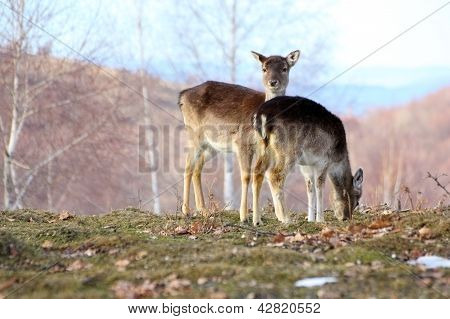 Fallow Deer Doe And Calf