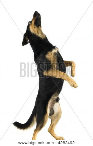 Dog Dancer