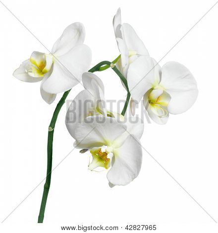 Orchid white phalaenopsis beautiful background, flowers isolated on white