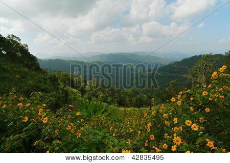 Mexican Sunflower Weed Field On Mountain, Thailand