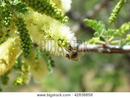 Bee Hind On Yellow Green Mesquite