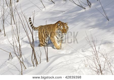 Siberian tiger in winter