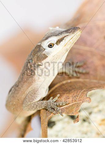 Brown Lizard Shedding skin on head