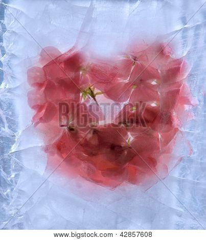 Frozen Pelargonium Flower