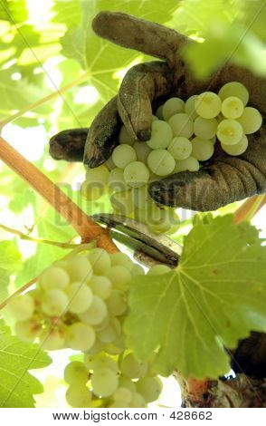 Harvesting Chardonnay