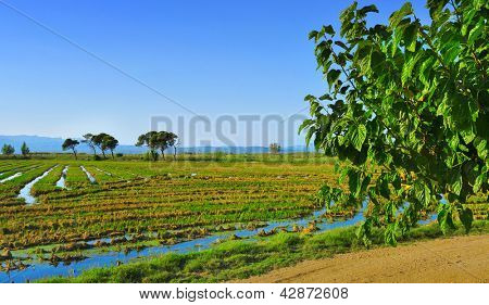 view of a paddy field in Delta del Ebre, in Catalonia, Spain