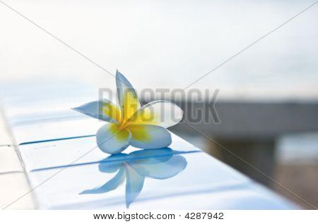 Temple Tree Flower