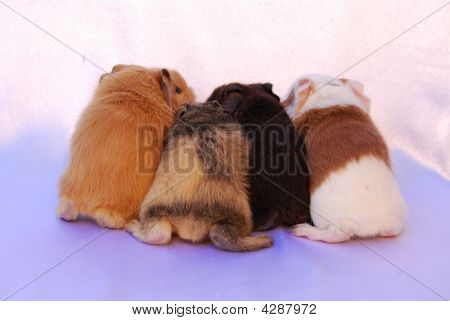 Cute Baby Guinea Pig Butts