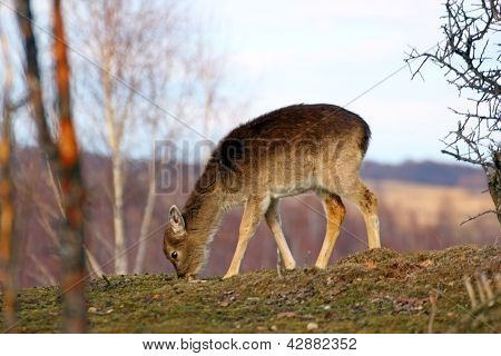 Deer Calf Grazing