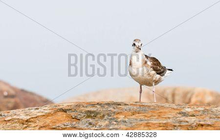 Sea Gull On A Rock