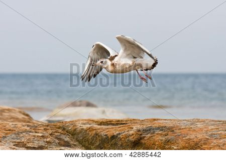 Sea Gull Or Mew