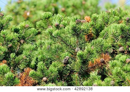 Sunlit Pine Trees With Cones In Forest