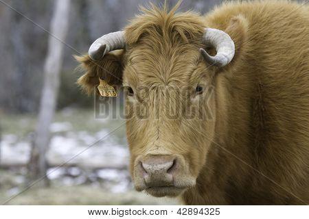 Brown Cow Head