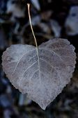 foto of cottonwood  - A dry brown heart shaped leaf from a Cottonwood tree - JPG
