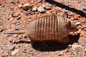 stock photo of omnivores  - Small hairy armadillo running on the ground in dry north  - JPG