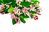 stock photo of honeysuckle  - Sprigs of honeysuckle with pink flowers and green leaves isolated on white background - JPG