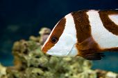 stock photo of damselfish  - Picture of white - JPG