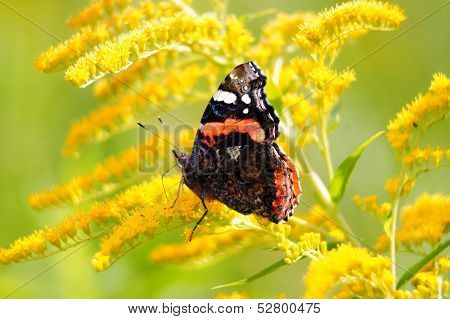 Red admiral butterfly (vanessa atalanta) on a goldenrod (solidago virgaurea).