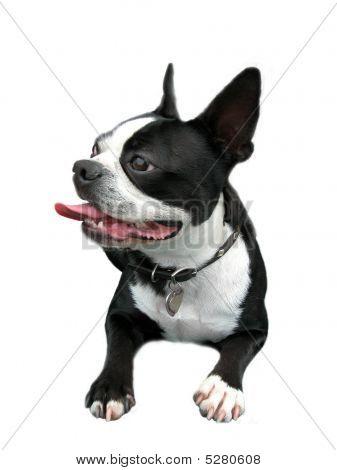 Smiling Boston Terrier