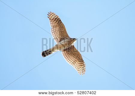Juvenile Coopers Hawk In Flight