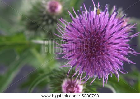 Flower Of A Burdock