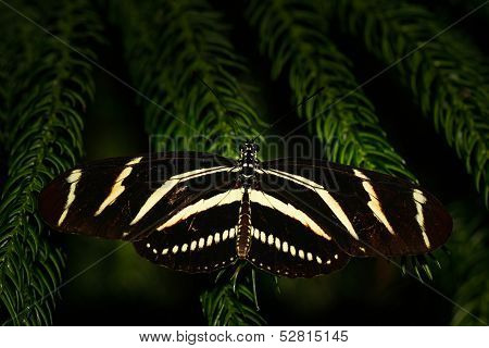 Zebra longwing Butterfly Macro Shot