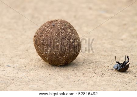 Dung Beetle Fall Off Dung Ball