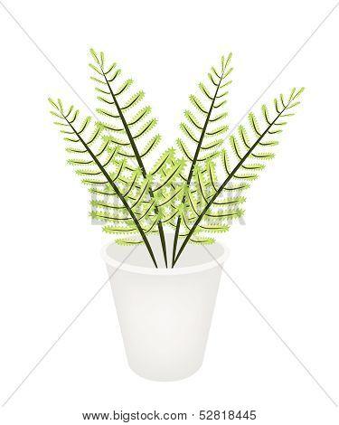 Beautiful Green Fern In A Flower Pot