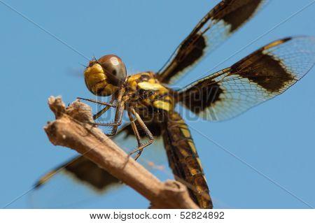 Female Portia Widow Dragonfly - Palpopleura Portia