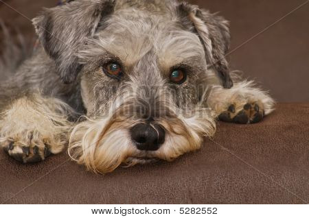 Miniature schnauzer dog laying on a brown surface