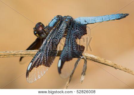 Male Portia Widow Dragonfly - Palpopleura Portia