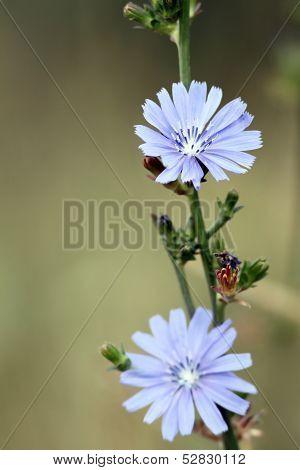 Cichorium  Intybus Flowers